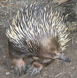 Echidna at                 Melvourne Zoo