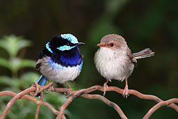 Superb fairy                 wren pair
