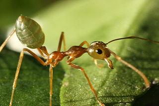 Green tree ant