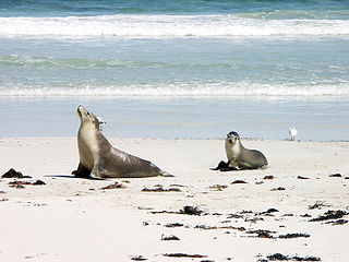 Sea Lion Seal           Bay Kangaroo Island