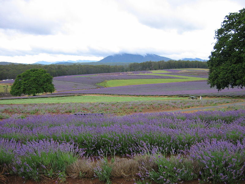 Bridestowe lavender fields