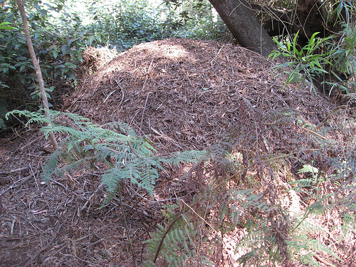 Brush turkey                 mound
