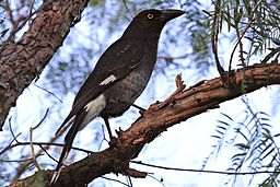 Currawong