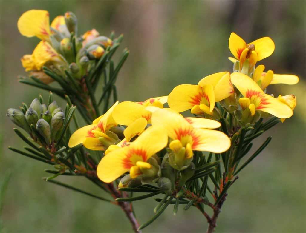 Spring blossoms Freycinet