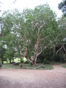 Tea tree in                 Cooktown Botanic Gardens