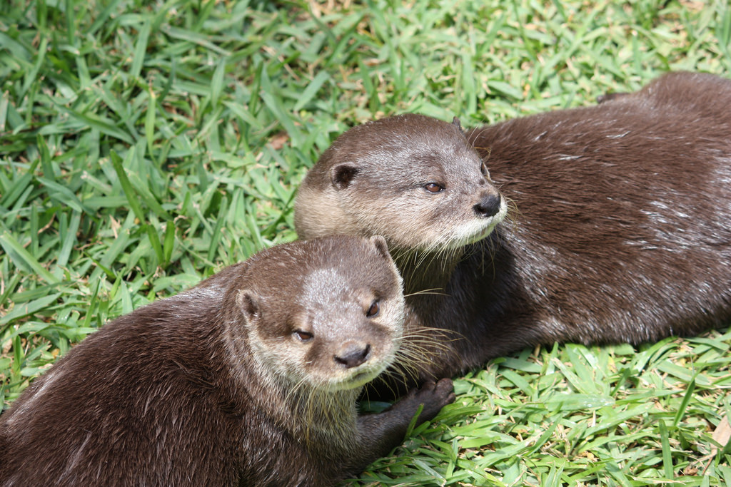 Otters at Mogo Zoo
