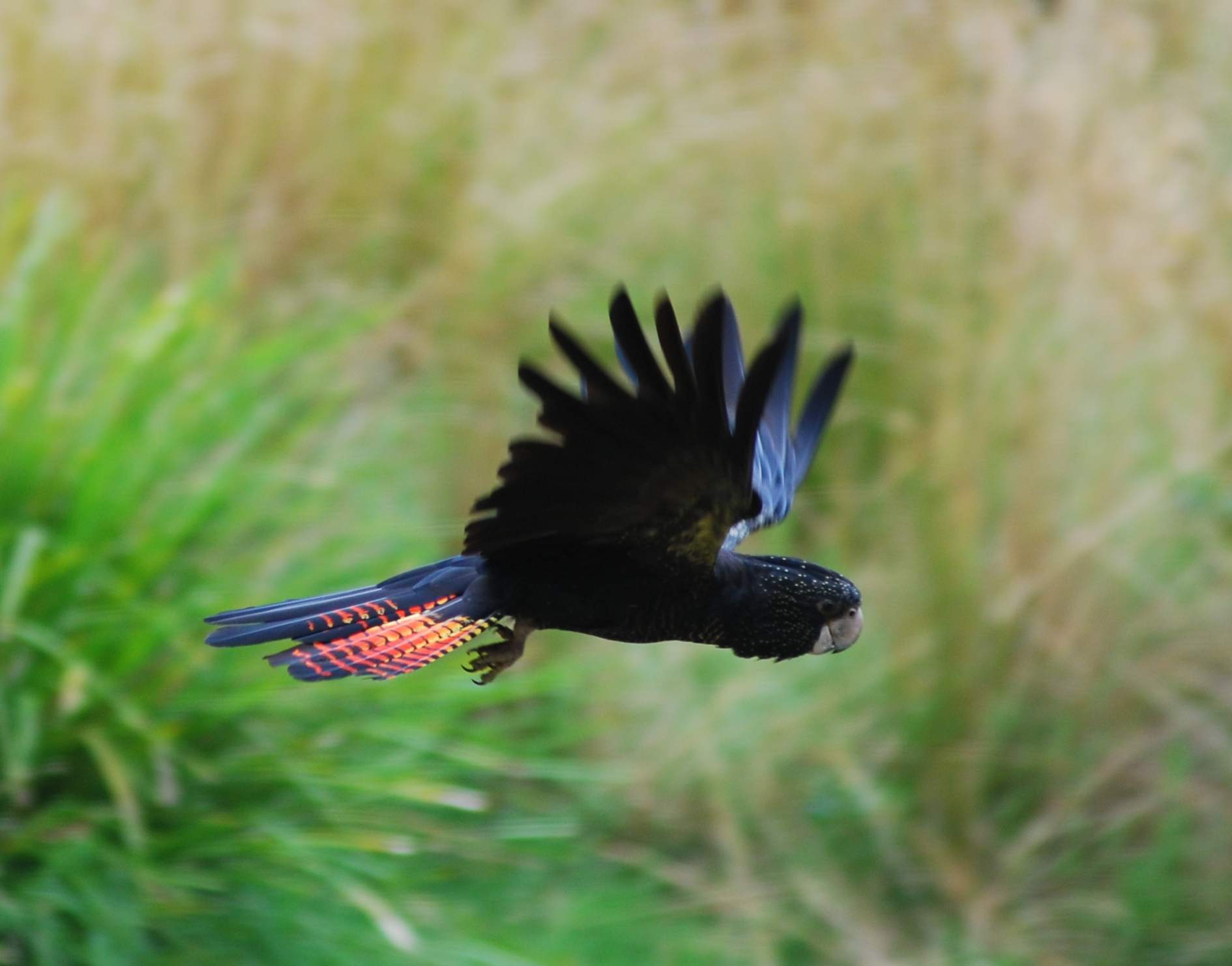 Red-tailed Black