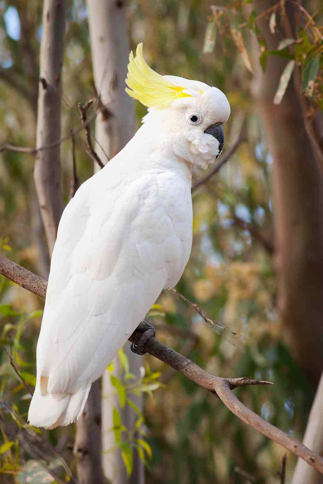 What Is Being Done To Save The Yellow Crested Cockatoo 5
