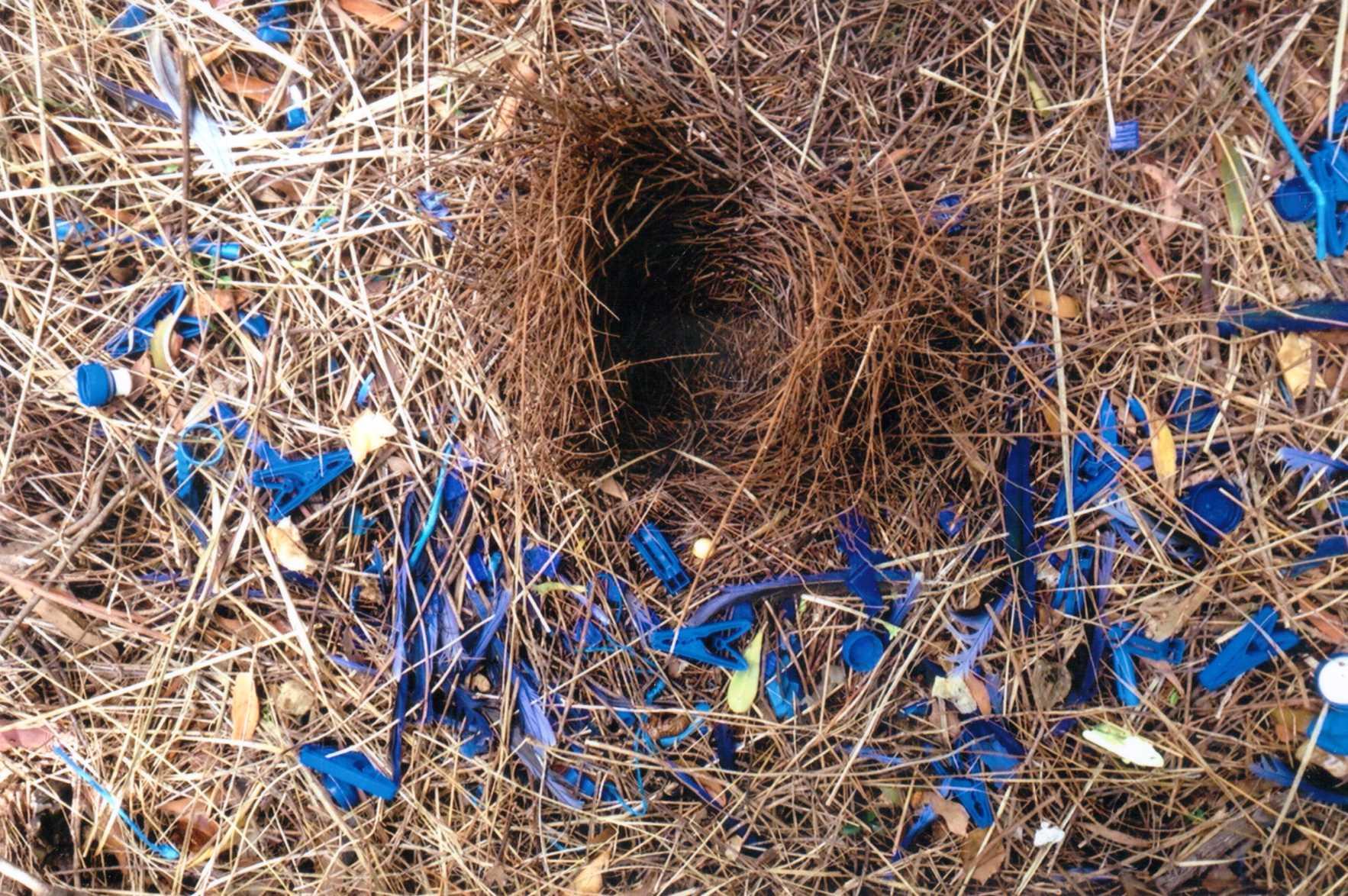 Bower bird's nest