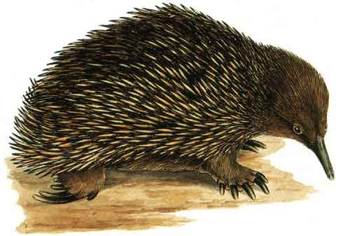 Echidna               by Cayley