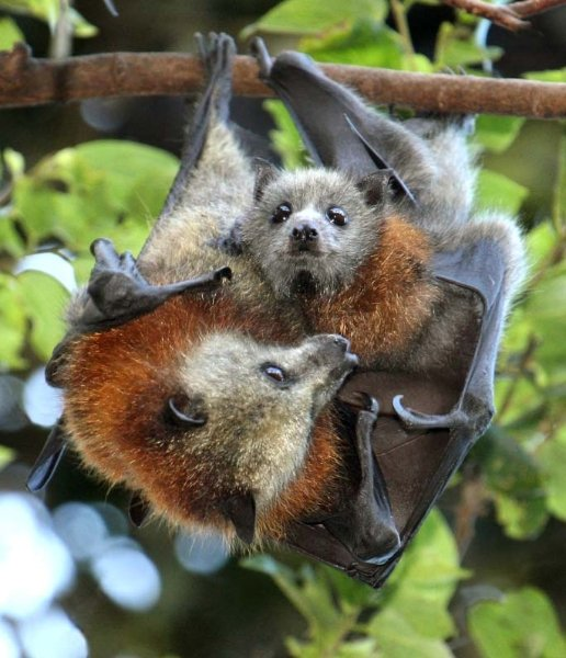 Bats -                 Adelaide Bat Care